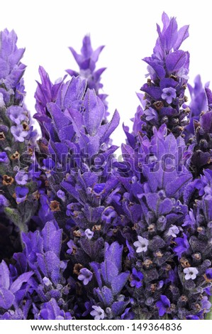 closeup of some lavender flowers on a white background - stock photo