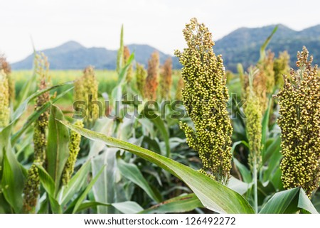 Closeup of sorghum ear on a field in Thailand - stock photo
