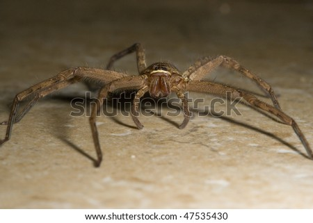 Closeup of spider from Molokai, Hawaii - stock photo