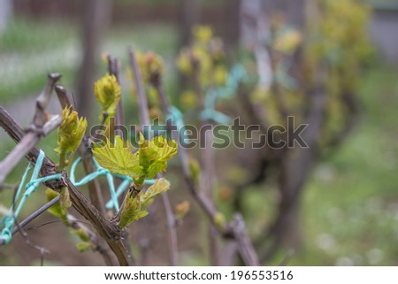 Closeup of spring buds sprouting on a grape vine. Selective focus.  - stock photo