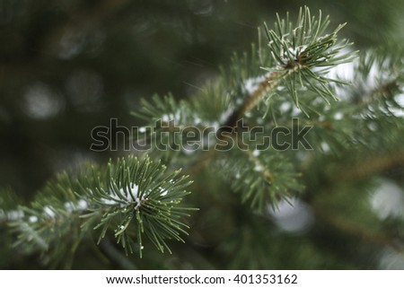 Closeup of Spruce Needles in Winter