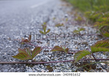Closeup of Stone Bramble (Rubus saxatilis) leaves and runners growing at road side.  Very shallow DOF.  - stock photo