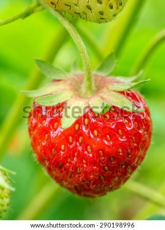 Closeup of strawberry ripening on shrub - stock photo