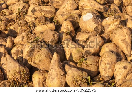 Closeup of sugar beets in the sun waiting for transport to the sugar refinery