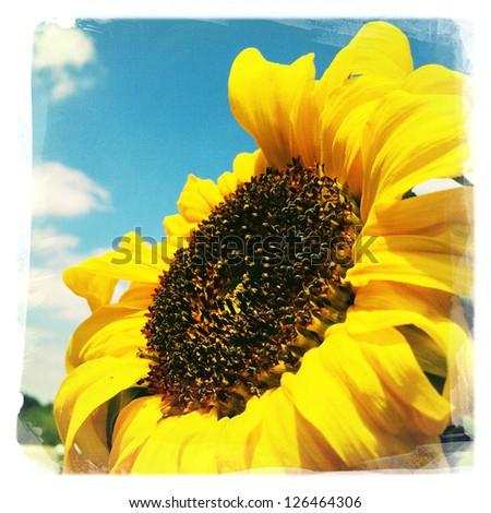 Closeup of sunflower and blue sky - stock photo