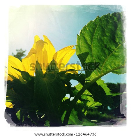 Closeup of sunflower and sunshine - stock photo