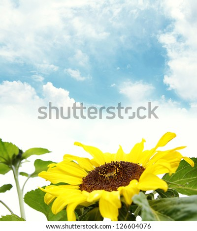Closeup of sunflower. Blue sky in background - stock photo