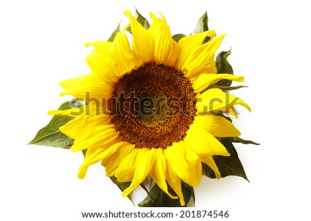 Closeup of sunflower on plain background - stock photo