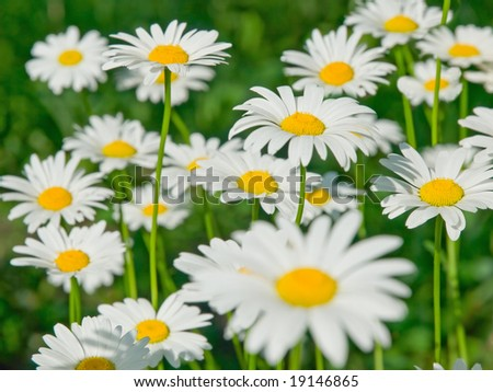 closeup of sunny chamomile field. shallow dof - stock photo