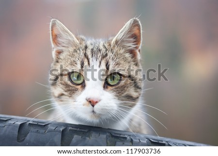 Closeup of tabby cat gazing out of a tyre - stock photo