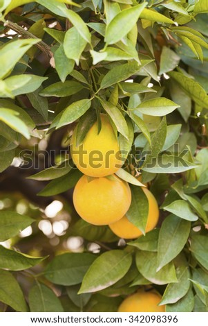 Closeup of tangerines on a tree