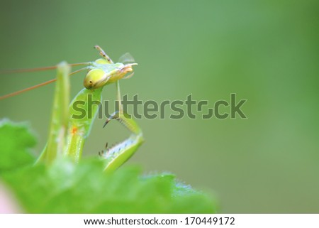 closeup of tenodera mantis, nature photography, north china.
