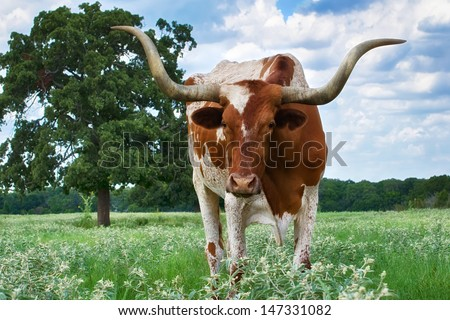 Closeup of Texas Longhorn grazing on the meadow - stock photo