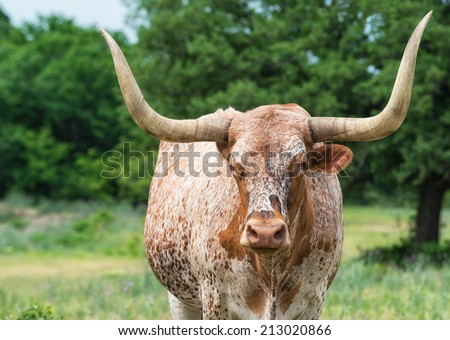 Closeup of Texas longhorn on pasture, trees on the background - stock photo