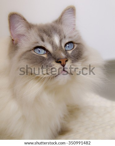 Closeup of the beautiful blue eye of a Grey Ragdoll cat. - stock photo
