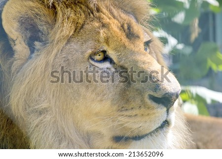 Closeup of the beautiful lion. - stock photo