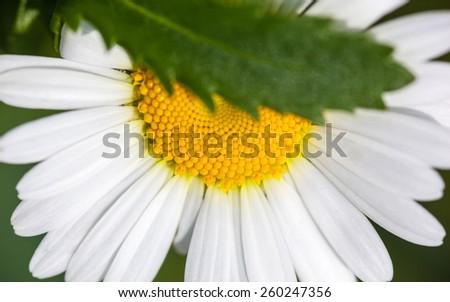 Closeup of the blooming oxeye daisy (Leucanthemum vulgare) - stock photo