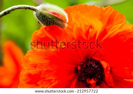Closeup of the blooming red poppy flower and poppy bud. - stock photo