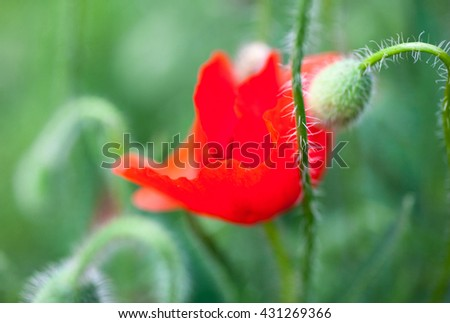 Closeup of the blooming red poppy flower and poppy buds. - stock photo