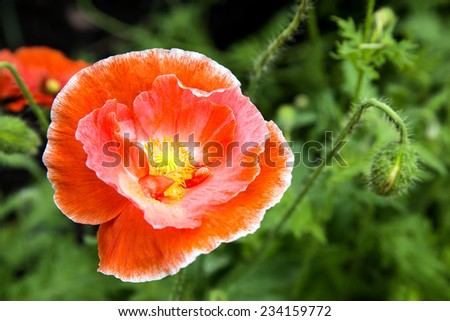 Closeup of the blooming red poppy flowers and poppy buds. - stock photo