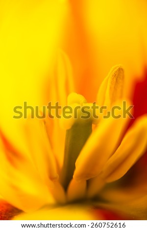 Closeup of the blooming yellow tulip flower - stock photo