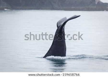 Closeup of the fluke of a humpback whale disappearing as he sounds in frigid Alaskan waters - stock photo