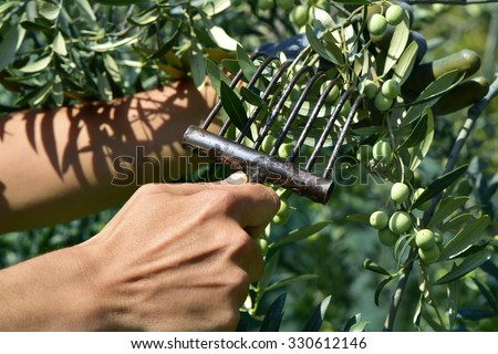 closeup of the hands of a young man who is harvesting arbequina olives in an olive grove in Catalonia, Spain, with a comb-like tool - stock photo
