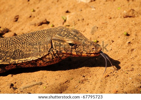 Closeup of the head of a monitor lizard extending its tongue - stock photo