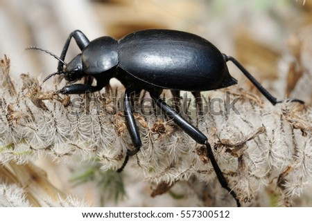 Closeup of the nature of Israel - darkling beetle