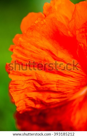 Closeup of the petals of the blooming red poppy flower. - stock photo