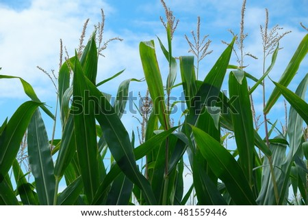 Closeup of the top of a corn field