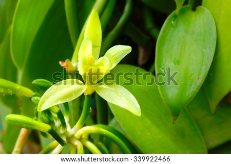 Closeup of The Vanilla flower on plantation. Reunion Island, agriculture in tropical climate. - stock photo