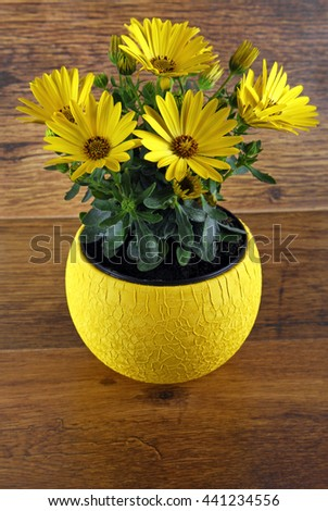 closeup of the yellow osteospermum flowers - stock photo
