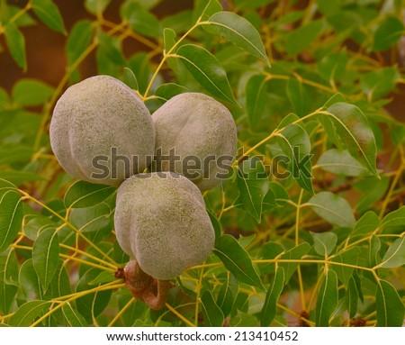 Closeup of three seed pods on a West Indian Mahogany tree (Swietenia mahagoni) - stock photo
