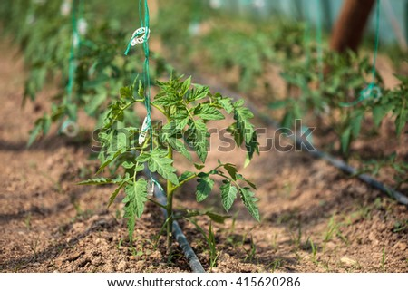 Closeup of tomato rows in a greenhouse - stock photo