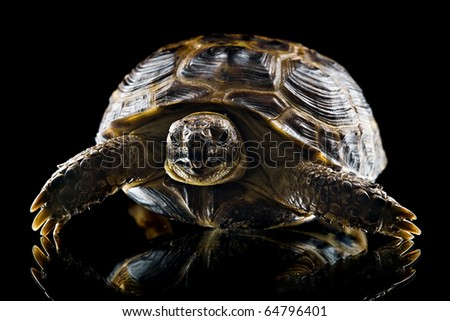 closeup of tortoise looking at camera isolated on black background