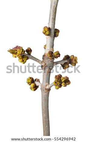 Closeup of tree twig with blossom buds at spring isolated on white background