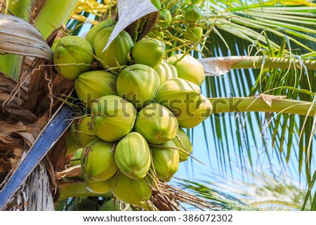 closeup of tropical coconut on tree in thailand - stock photo