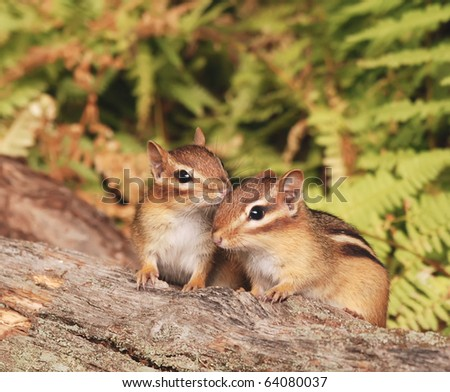 closeup of two baby chipmunk siblings  sitting on a log - stock photo
