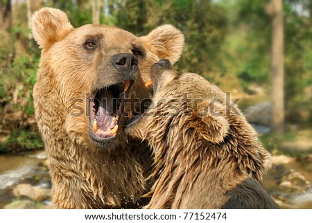 Closeup of two grizzly bears fighting or playing with each other at a river in the wood - stock photo