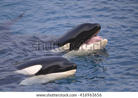 Closeup of two killer whales (Orcinus orca) opening mouth in blue water