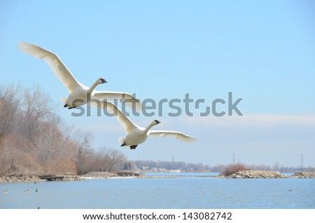 closeup of two rare Trumpeter swan flying over lake Ontario, Burlington Ontario Canada - stock photo