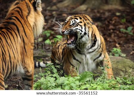 Closeup of two Sumatran Tigers fighting and displaying aggression. - stock photo