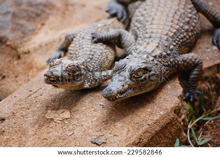 Closeup of two young crocodiles at Meserani Snake Park, Tanzania - stock photo