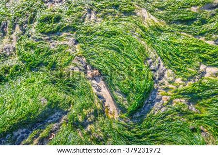 Closeup of Ulva intestinalis, a green algae growing on the asphalt and sand of a Dutch sea wall at the North Sea coast. It is low tide on a sunny day in the winter season. - stock photo