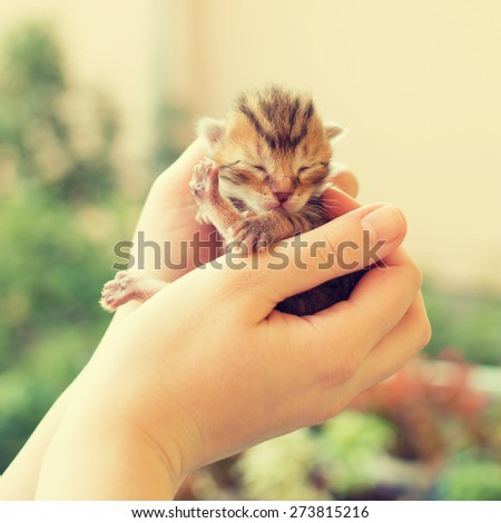 Closeup of very small cute one day old gray tabby kitten in female hands outdoors. Square format, filter applied. - stock photo