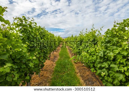 Closeup of vineyard rows in the area between Richmond, Cambridge and Hobart in Tasmania, Australia. - stock photo