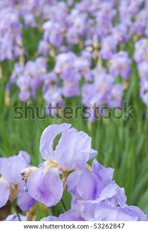 Closeup of violet wild flower iris with selective focus and blurred background - stock photo