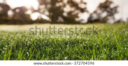 Closeup of wet grass with dew drops with blurred trees in the background in the morning. Shallow depth of field. - stock photo