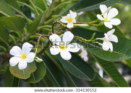Closeup of white plumeria flower on the plumeria tree. - stock photo